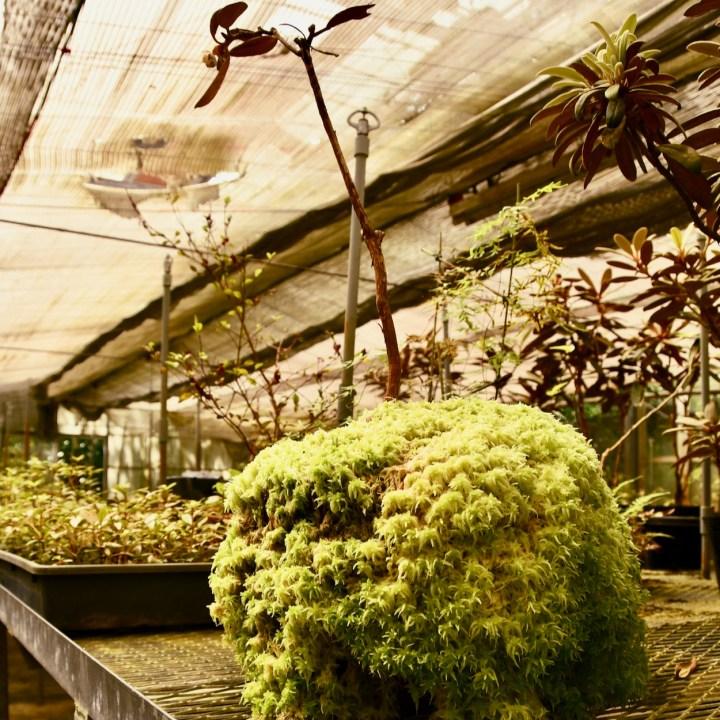 Yakushima Botanical Garden giant kokedama