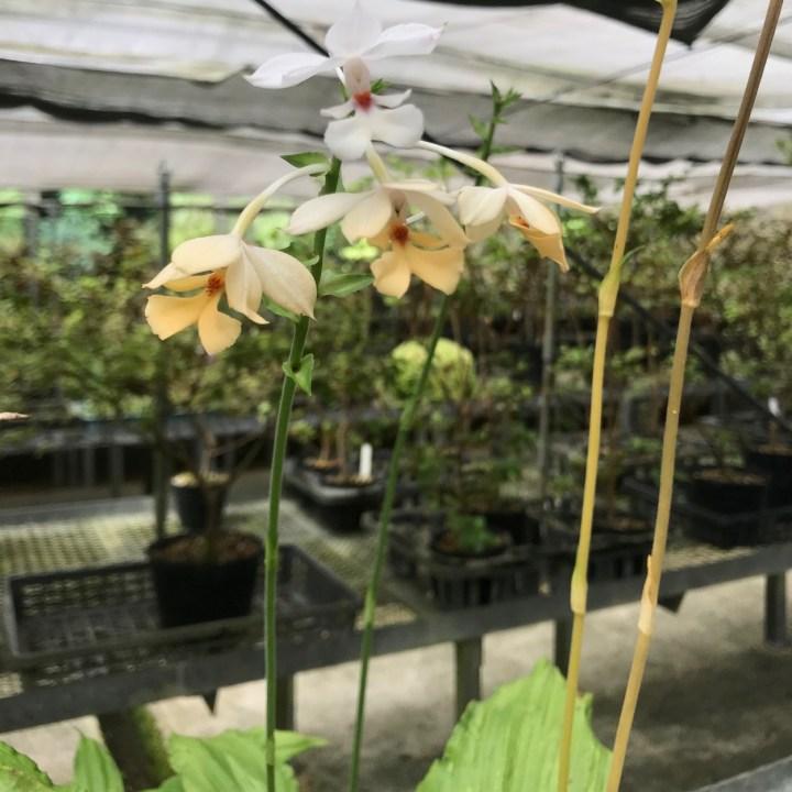 Yakushima Botanical Garden orchids