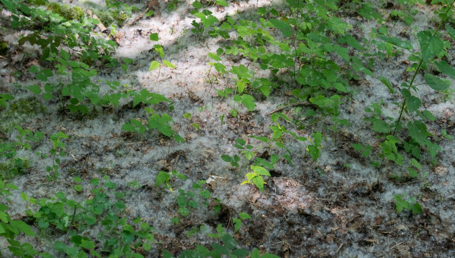 Baumpollen überall