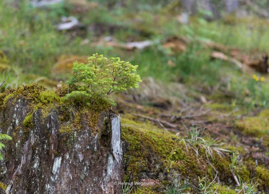 Waldmotiv am Titisee