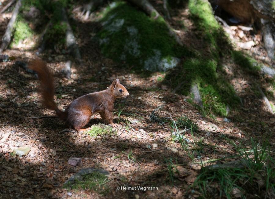 Eichhörnchen-2