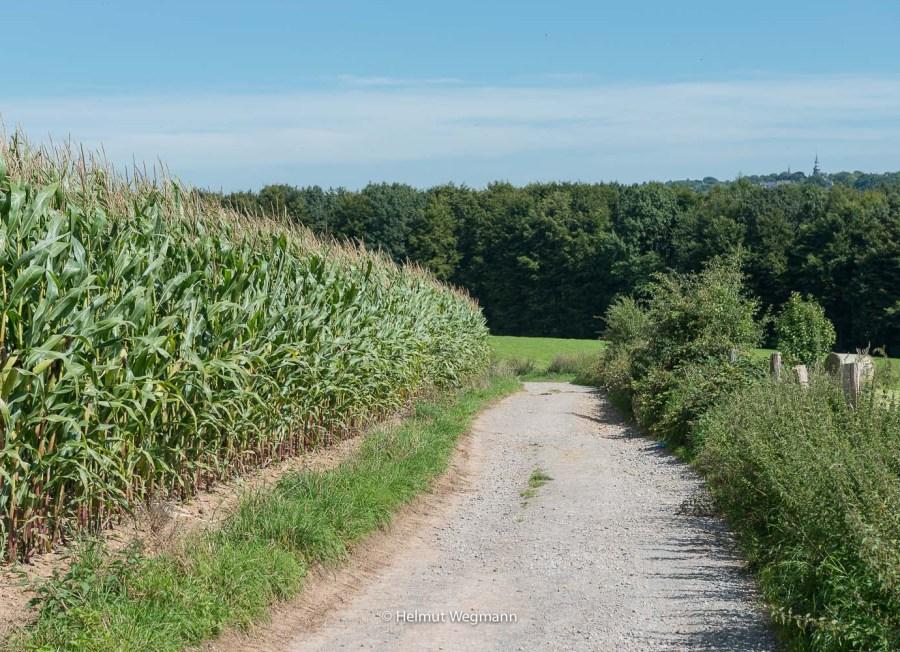 Weg am Maisfeld