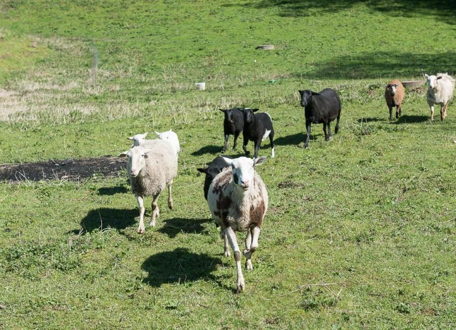 Hungrige Schafe