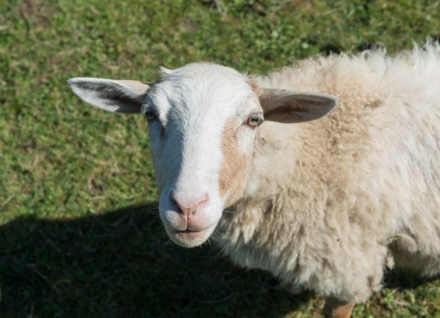 Neugieriges Schaf