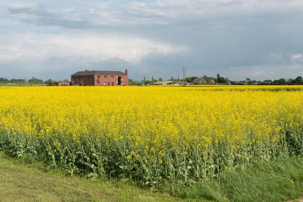 Rapsfeld in voller Blüte bei Stürzelberg