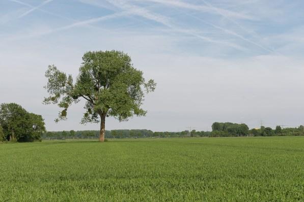 Baum im Getreidefeld