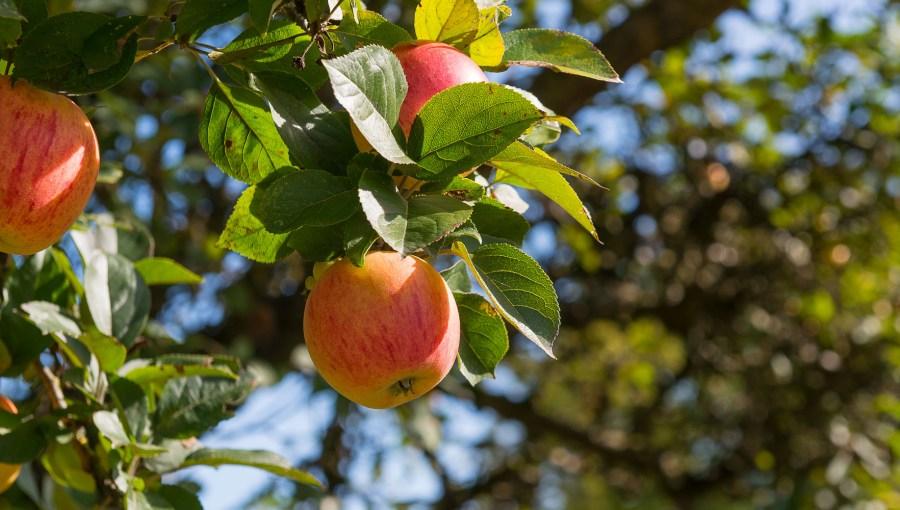 Ein gutes Apfeljahr