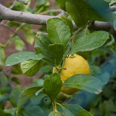 Zitronen im Februar