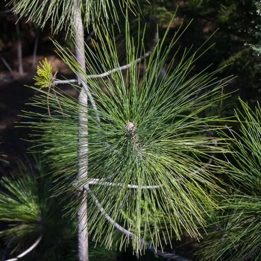 Nadel der kanarischen Pinie