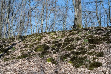 Stark bemooster Hang im Wald