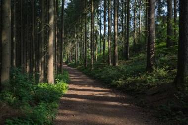 Waldweg im Morgenlöicht