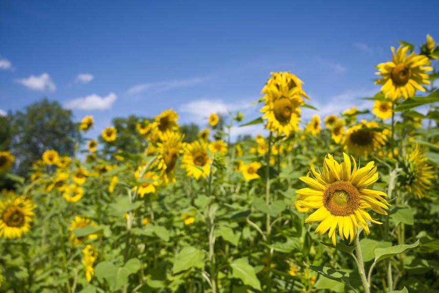 Die Sonnenblumensaison ging langsam zu Ende