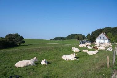 Kühe am Ortsausgang