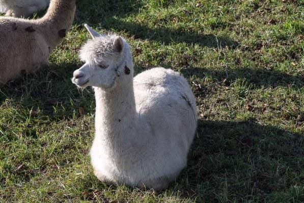 Lama in Froschenteich