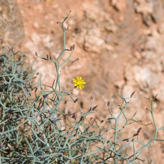 Winzige gelbe Blüte an einem dornigem Strauch