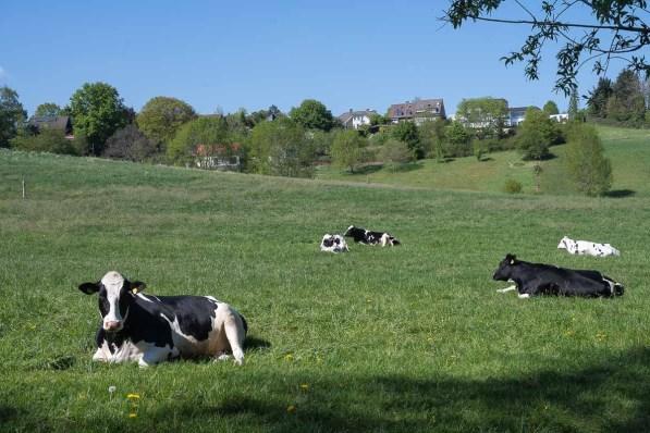Lange keine Kuh mehr fotografiert