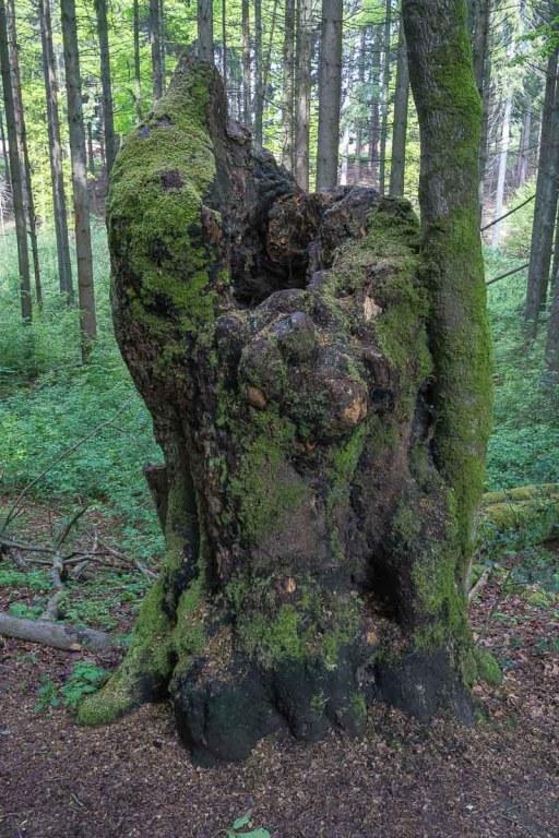 Baumruine am Waldlehrpfad