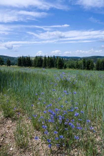 Kornblumen am Weizenfeld