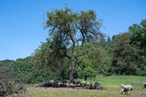 Schafsherde oberhalb von Rommersdorf