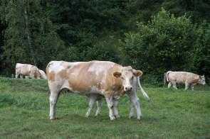 Kühe am Ausgang von Herten