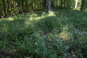 Wald mit Waldmeister