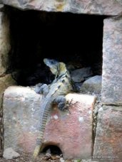 Walls are more than barriers, sometimes they can be homes for lizards, at Chichen Itza.