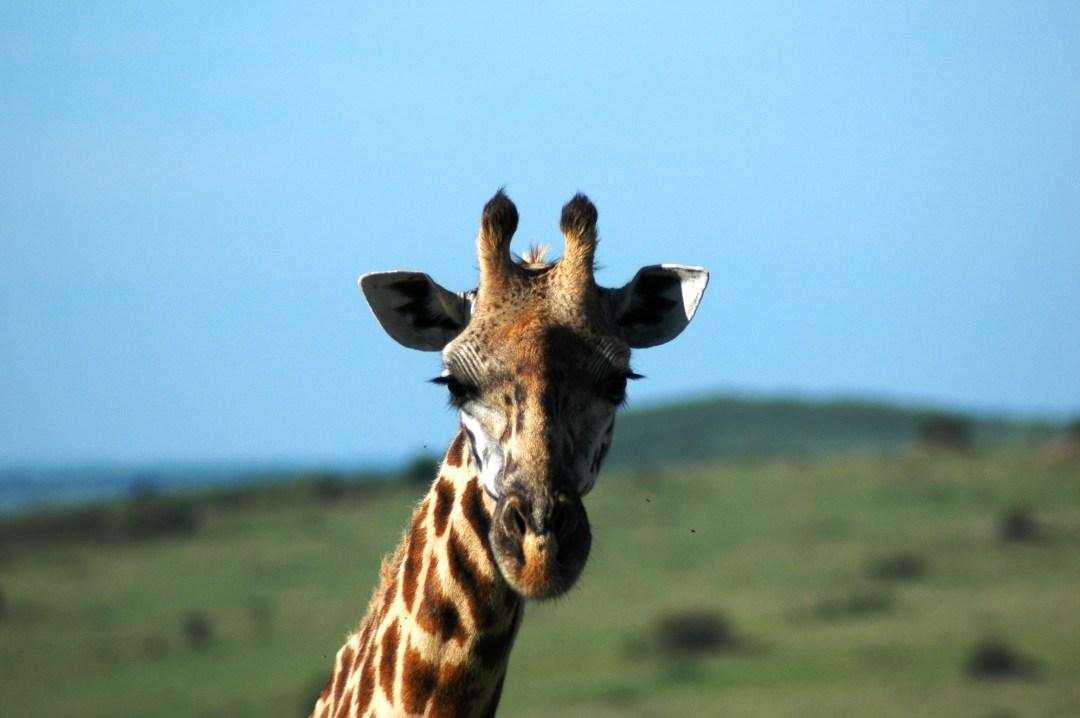 Giraffe Maasai Mara Park, Kenya Nov 2004