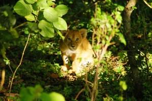 Lion cub Maasai Mara Park, Kenya Nov 2004