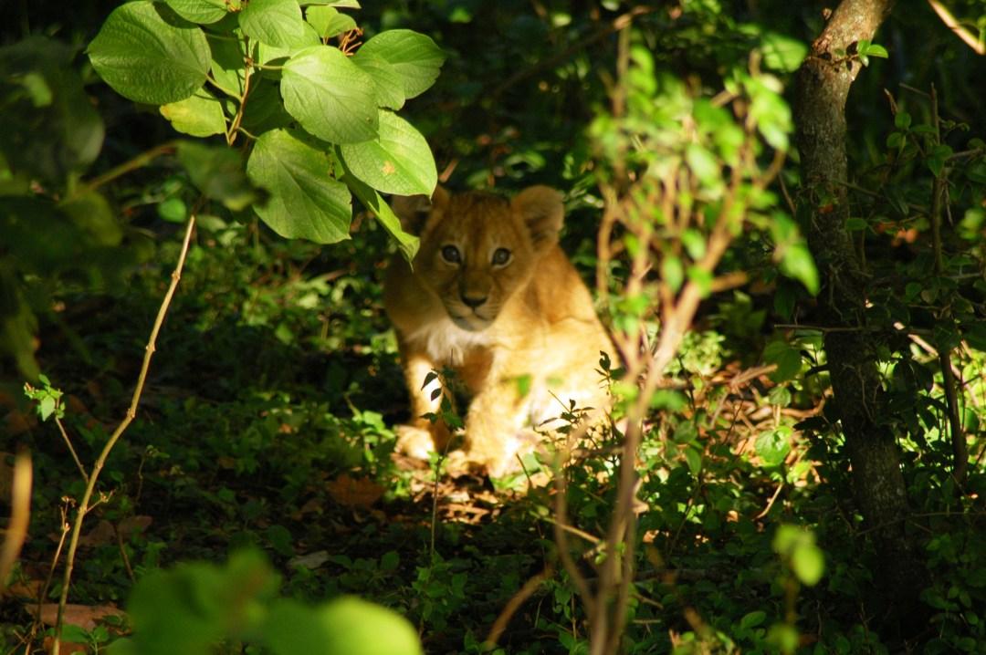 Lion cub, Royal African Safaris, Maasai Mara, Kenya November 2003
