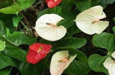 Anthurium Ikebana Arrangements