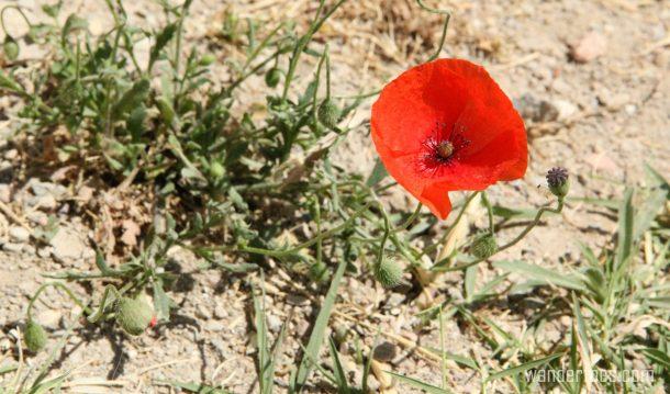 acropolis-poppy-wandertoes