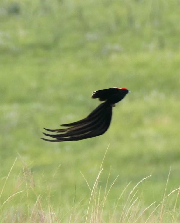 Widowbird