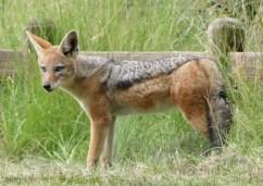 Fox in Golden Gate