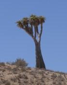 A quiver tree?