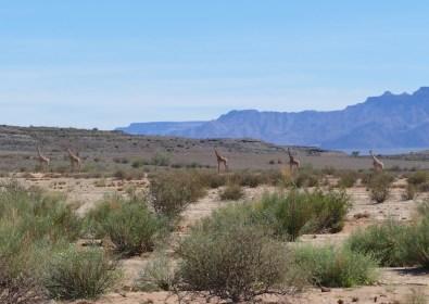 Giraffes in the desert near Ais Ais
