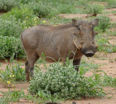 Warthog, lovingly known as Pumba
