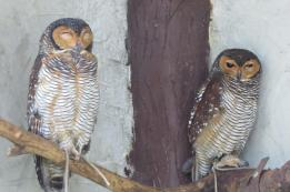 owls of kl bird park