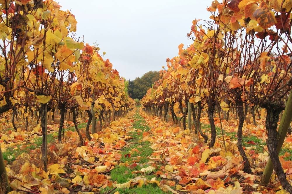 halfpenny green vineyard autumn