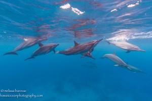 Hawaii dolphin pod