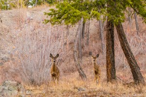 Whitefish deer - wander with melissa