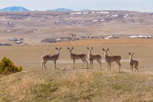 Montana deer - wander with melissa