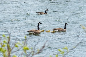 Baby geese - wander with melissa