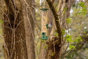 Black capped chickadee - wander with melissa