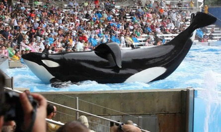 a orca, hurt, and forced to preform at seaworld