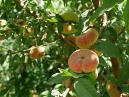Peaches in Alis garden.// Pfirsiche in Alis Garten.