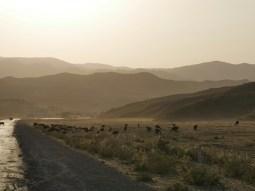 Sheep flocks are everywere in Uzbekistan.// Schafsherden sieht man überall in Usbekistan.