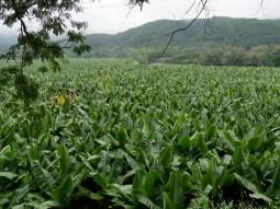 Banana plantation.// Bananen Plantage.