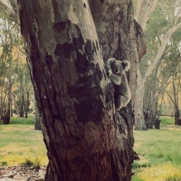 Koala-in-het-wild-Australië
