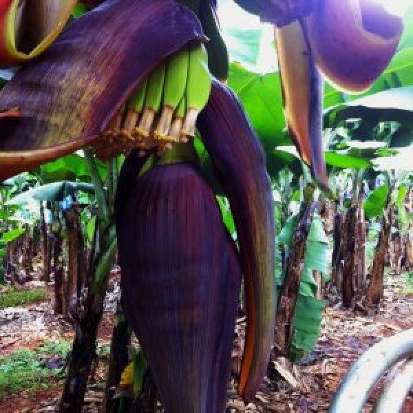 Bananen-beginnen-te-groeien