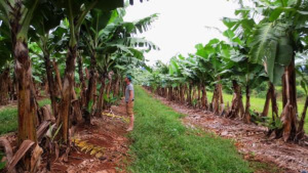 In-de-bananen-paddock
